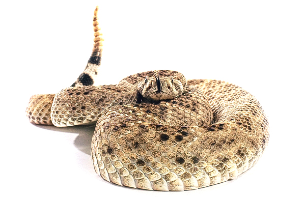 Western Diamondback Rattlesnake photographed by Blair Bunting